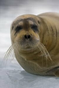 A Bearded Seal... very cute, unless you happen to be a cod