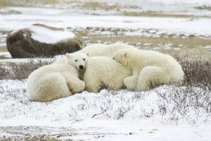 two polar bear cubs curled up and sleeping in mother's fur