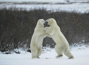 Fight of polar bears.